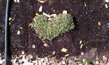 heart shaped oregano