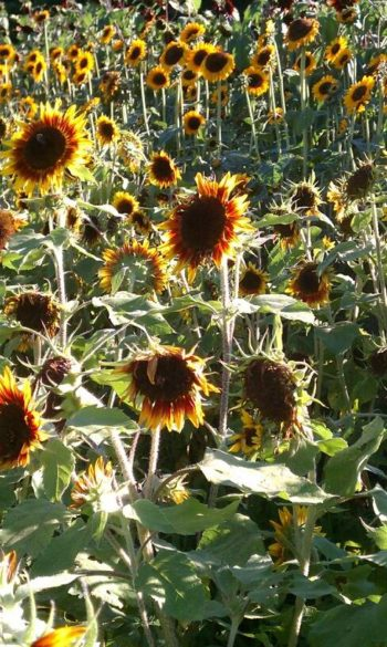 sunflowers some faded